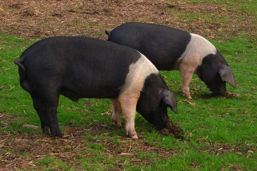 Wessex Saddleback Pigs For Sale Creative Textures Nz